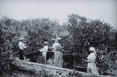 Mão-de-obra escrava na colheita do café, imagem que integra o livro Escravismo em São Paulo e Minas Gerais, dos pesquisadores Francisco Vidal Luna, Iraci del Nero da Costa e Herbert Klein.