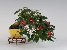 Camellia japonica (35th Gafu-ten) - Pieces Pieces Bonsai Bonsai .com Fair information
