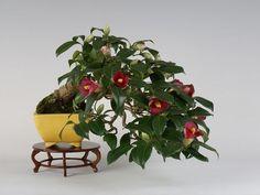 Camellia japonica (35th Gafu-ten) - Pieces Pieces Bonsai Bonsai .com Fair information