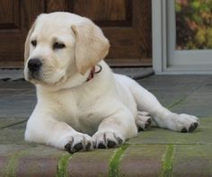 Greenbriar Plantation - Breeders of Labrador Retrievers in South Carolina > Photo Gallery Cute Puppies, Dogs And Puppies, Cute Dogs, Doggies, Lap Dogs, Golden Retrievers, Labrador Retriever Dog, Mans Best Friend, I Love Dogs