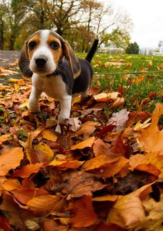 Autumn beagle ❤️