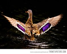 170 Best Duck Hunting Images Birds Ducks Waterfowl Hunting