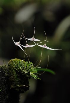 Trisetella hoeijerii Trisetella is a genus of orchids Strange Flowers, Unusual Flowers, Unusual Plants, Rare Flowers, Cool Plants, Amazing Flowers, Air Plants, Black Flowers, Arrangements Ikebana