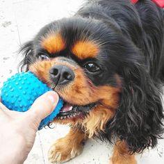 It's mine happiness!!!!! Yoke joy!!!!!  #happydogs #joys #happiness #pawsome #fluffypack #favoritetoy #puppytales #dogadventures #adventureswithdogs #dogcutepics #instapets #nature #ruffwear #outdoordog #hankandhound #mydogisbest  #sendadogphoto #lacyandpaws #dogfeatures #blackdog #blackandtancavalier #dogrunning #cavlife #cavaholic #cavvie #cavitude #cavalierlover #cavalierofinstagram by jthedarkcavalier