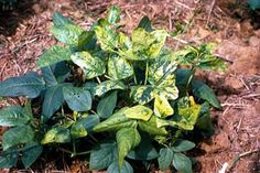 Mosaic Plant Virus - Check out the free plant identification mobile app at GardenAnswers.com Plant Diseases, Plant Identification, Free Plants, Mobile App, Mosaic, Check, Garden, Flowers, Garten