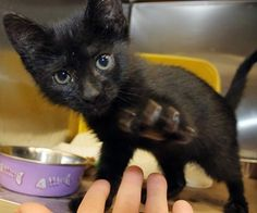 ADOPTED<Intake: 5/12 Available: 5/18 NAME: Peak A Boo ANIMAL ID: 31580408 BREED: DSH  SEX: Female  EST. AGE: 7 weeks  Est Weight: 1.15 lbs Health:  Temperament: Friendly ADDITIONAL INFO:  RESCUE PULL FEE: $35