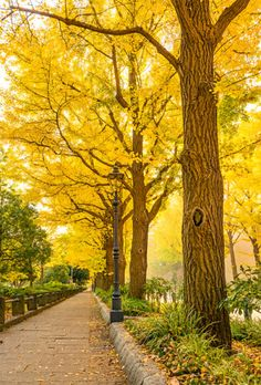 A row of Ginkgo trees at Yamashita Park in Yokohama, Japan, in the autumn. AJYI/KO.YO Ginkgos would probably be totally extinct if it weren't for human cultivation starting about 4000 years ago in China.