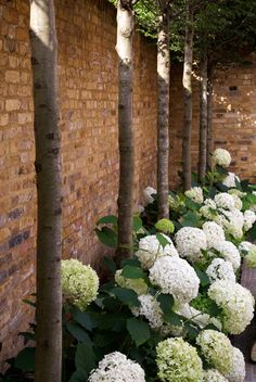Hydrangea 'Annabelle' under fastigiate hornbeams, behind clipped box hedge