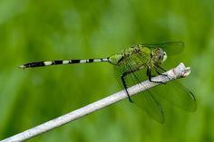 Beautiful green dragonfly Photo by Johnny Hsu — National Geographic Your Shot