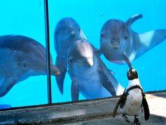 Golfinhos observando o pinguim... estes turistas...