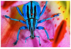 BLUE WEEVIL  Eupholus bennetti  © Seth Resnick