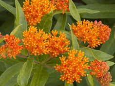 Milkweed,  Butterfly Weed Perennial—The hardy native Milkweed essential to the survival of Monarch butterflies. Mature butterflies feed on the nectar produced in the flowers, while the foliage provides food for their larvae. The brilliant orange and yellow flowers are showy in massed plantings. The three-foot plant is native throughout the eastern and southern regions of the country, usually preferring drier sites, and should be hardy except at very high elevations.