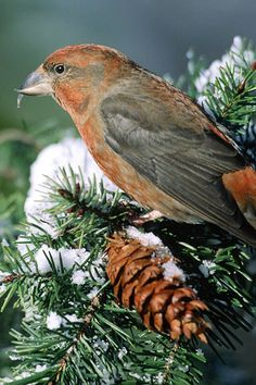 Red Crossbill, Loxia curvirostra, Fringillidae family. Breeds: Alaska, Manitoba, Quebec, Newfoundland, south in west to N Nicaragua, east U.S. To WI & NC (mtns) - also in Eurasia