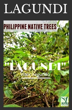"""LAGUNDI (Vitex negundo) This fast-growing native plant is highly drought-resistant. Lagundi is very much known for its medicinal use. """"Protect our trees, our forests- our source of life!"""" Visit our website: www.rainforestation.ph Articles about this plant: Candelario, G. Philippine herbal plants and their uses. 23 July 2014. Blogspot. Forest Plants, Herbal Plants, Wood Tree, Flowering Trees, Fast Growing, Herbal Medicine, Native Plants, Herb Garden, Herbal Remedies"""