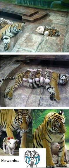 Mother Nature knows best. This mama tiger was depressed after her litter died, and her health began to fail. Zoo keepers decided to try and see if they could help her heal by allowing her own motherly nurturing instincts to develop. They made special tiger coats for these motherless piglets, and the rest is history. She raised them all to adulthood. Who said nurture isnt important? Pffft!