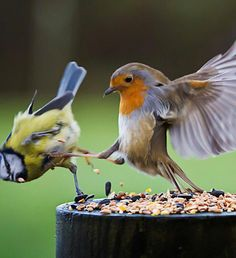 This is my Food! Robin Wrestling., from Iryna