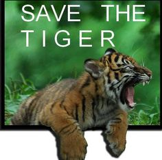 SAVE THE TIGER (he is yelling it for everyone to hear - he needs your help)