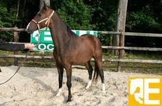 Très bon cheval de sport pour centre équestre ou cavalier.
