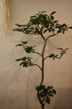 Fiicus grandis (velitina)