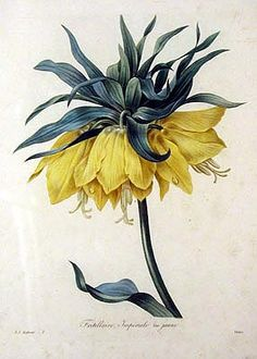Pierre-Joseph Redouté — Fritillaire Imperiale. Choix des Plus Belles Fleurs Published: Paris 1827-1833 Medium: Hand-colored engravings Dimensions: 13 and 1/8 inches by 9 and 9/16 inches