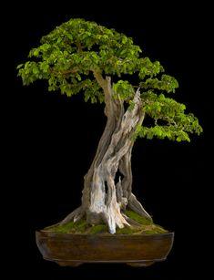 Broadleaf Bonsai Tree