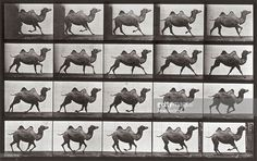 'Animal Locomotion' (plate 739): sequence with a camel running