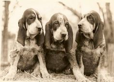 Are you interested in a Beagle? Well, the Beagle is one of the few popular dogs that will adapt much faster to any home. Whether you have a large family, playfu Art Beagle, Beagle Dog, Pet Dogs, Dogs And Puppies, Doggies, Labrador Puppies, Retriever Puppies, Most Popular Dog Breeds, Best Dog Breeds