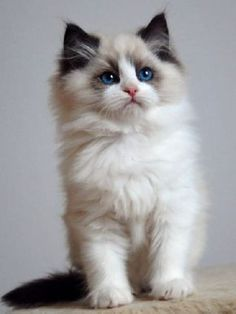 Chaton ragdoll - I own 5 Ragdolls kitties but I am unfamiliar with this Chaton breed. He looks adorable ❤❤❤ Chaton ragdoll - I own 5 Ragdolls kitties but I am unfamiliar with this Chaton breed. He looks adorable ❤❤❤ Ragdoll Kittens For Sale, Kittens And Puppies, Cute Cats And Kittens, Cool Cats, Kittens Cutest, Ragdoll Cats, Funny Kittens, Bengal Cats, White Kittens