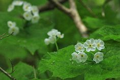 """Diphylleia grayi"" (Skeleton flower) Beautiful flower that becomes transparent…"