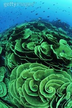 Coral (Montipora genus) - Somosoma Strait, Taveuni, Fiji - Photo by David Hall Underwater Creatures, Underwater Life, Ocean Creatures, Spirals In Nature, Fauna Marina, Deep Blue Sea, Patterns In Nature, Fractal Patterns, Sea And Ocean