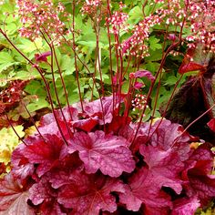 Make a statement in your garden with the dazzling foliage color, texture and shapes Heuchera perennials provide. Shop for your plants from Bluestone Perennials. Best Perennials, Hardy Perennials, Flowers Perennials, Planting Flowers, Perrenial Flowers, Flowers Garden, Spring Perennials, Spring Plants, Coral Bells Heuchera