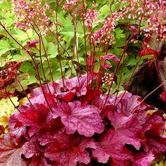 HEUCHERA 'Berry Smoothie' ® (Heuchère) : Épais coussins de feuillage marbré, persistant. Hampes fines portant de nombreuses clochettes. Peu exigeant, supporte bien le sec, mais préfère les sols humifères, frais. Le feuillage ample et lumineux rose foncé en début de saison devient rose pourpré en été. Les petites fleurs rose crème sur des tiges aériennes apportent de la légèreté aux massifs ou aux bouquets. Variété résistante à la chaleur.
