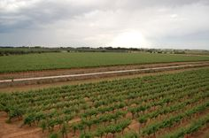 Masseria Surani vineyards - Manduria (TA) - Puglia