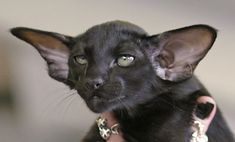 I just love the sweet look on the face of this black Oriental Shorthair Cat! Reminds me of Yoda. Sphynx, Pretty Cats, Beautiful Cats, Cute Kittens, Cats And Kittens, Oriental Shorthair Kittens, Chat Oriental, Animal Original, Foto Art