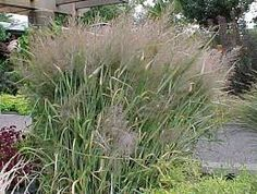 panicum virgatum prairie fire - Google Search