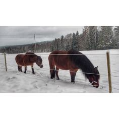 """From the Instagram of ciaobucarest: """"Horses on a snow covered field Kolmården Sweden"""""""