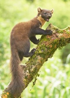 Pine Marten, Scotland by Flickpicpete