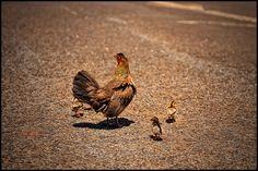Kauai chickens!! Donny's favorite !