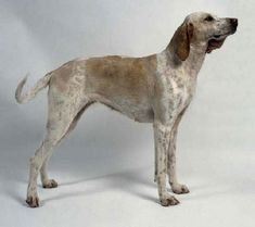 Billy ~ Billy dog ~ large hunting dog originating from Central western France in the century. Rare Dog Breeds, Roe Deer, Purebred Dogs, White Dogs, Hunting Dogs, Large Dogs, Beautiful Dogs, Mans Best Friend, I Love Dogs