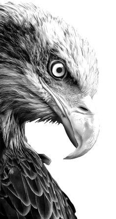 aguia - Pesquisa Google