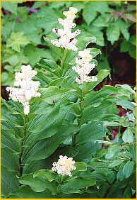 False Solomons Seal-It is the only lily to have the distinctive large clusters of tiny white flowers,are found in low to subalpine areas - widespread in wet forests and clearings of B.C.