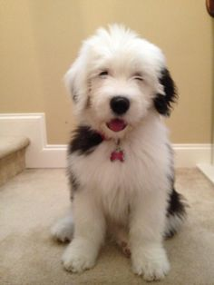 Seriously..I think it needs stitches.  **I heart Old English Sheepdogs, esp. puppies!**  Soo cute!