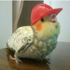 Welcome to the official Subbie® for Party Parrot! Party Parrot is a Slack emoji based on the legendary Sirocco, of the critically endangered. Funny Birds, Cute Birds, Cute Funny Animals, Cute Baby Animals, Animals And Pets, Cockatiel, Budgies, Funny Parrots, Tier Fotos