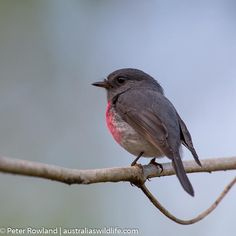 The Rose Robin's call is a soft trill, rising in pitch and volume towards the end of each phrase. Robin, Books Australia, Lower Belly, Bird Watching, Pitch, Habitats, Wildlife, Birds, Animals