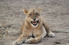 sexy laugh of lion