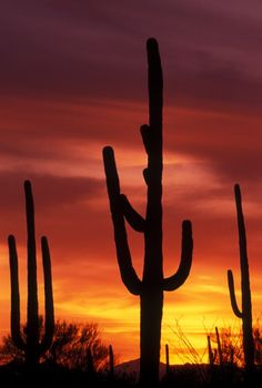 Sunset at Saguaro National Park Tucson - Walk amongst the largest cactus in the world. The Sonoran Desert is the only place on Earth you'll find this federally protected cacti.