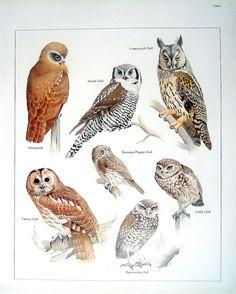Tawny Owls Natural Selection