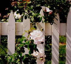 White Picket & Roses, Chatham