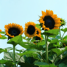 Sunflowers: A Growing Guide  http://www.rodalesorganiclife.com/garden/sunflowers-growing-guide