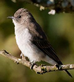 Wahlbergs Honeybird / Brown-backed honeybird. Prodotiscus regulus